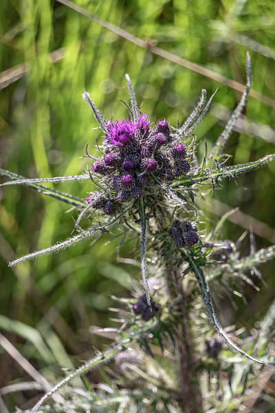 Photograph - Scottish Thistle 0628 by Teresa Wilson