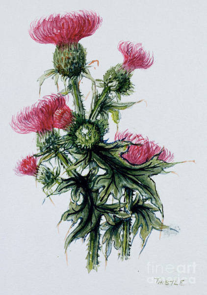 Floral Watercolor Drawing - Scottish Thistle by Nell Hill