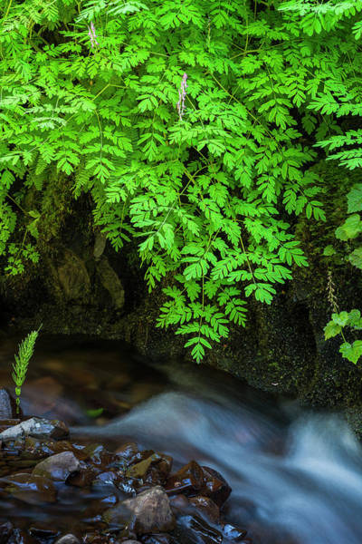 Photograph - Scouler's Corydalis by Robert Potts