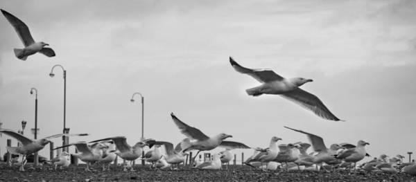 Gull Photograph - Scramble by Nigel Jones