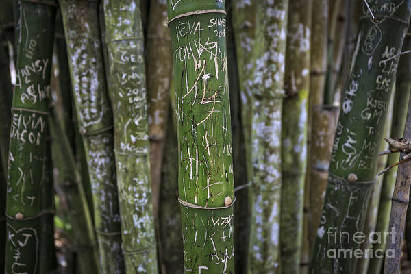 Bamboo Photograph - Scratched Bamboo by Edward Fielding
