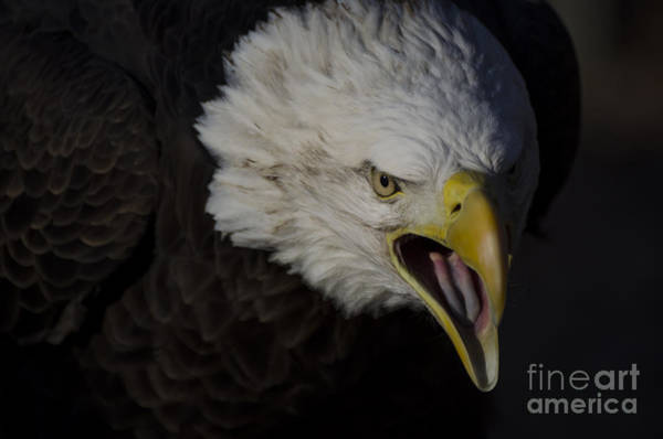 Photograph - Screaming Eagle by Andrea Silies