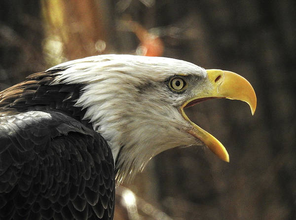 Photograph - Screaming Eagle by Frank Vargo