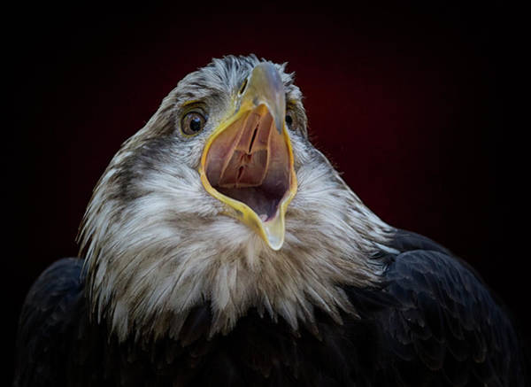 Photograph - Screaming Eagle by Randy Hall