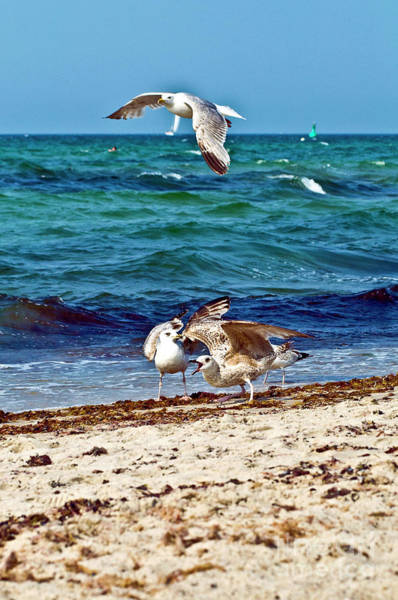 Photograph - Screaming Seagulls In Action  by Silva Wischeropp