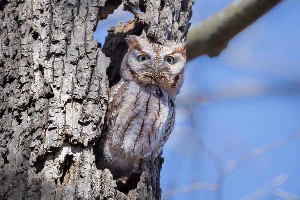 Photograph - Screech Owl #2 by Paul Schultz