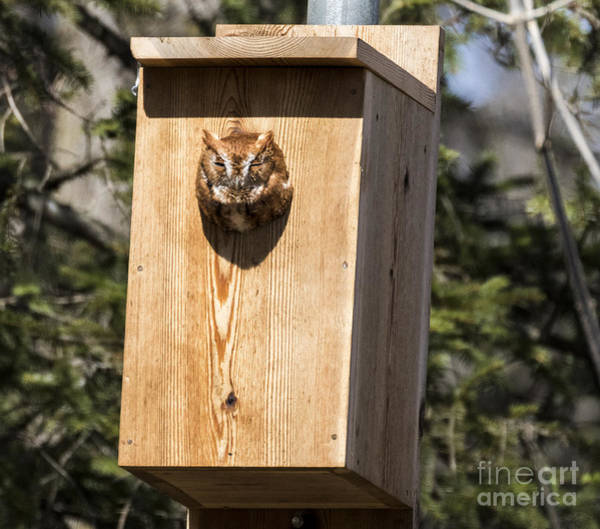 Photograph - Screech Owl At Petrifying Springs Park by Ricky L Jones