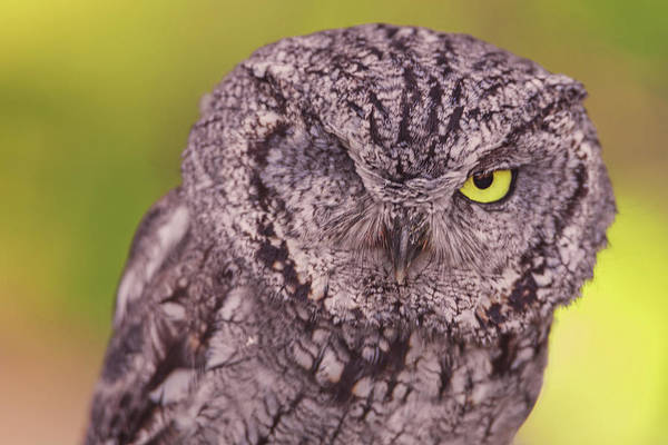 Photograph - Screech Owl  by Brian Cross
