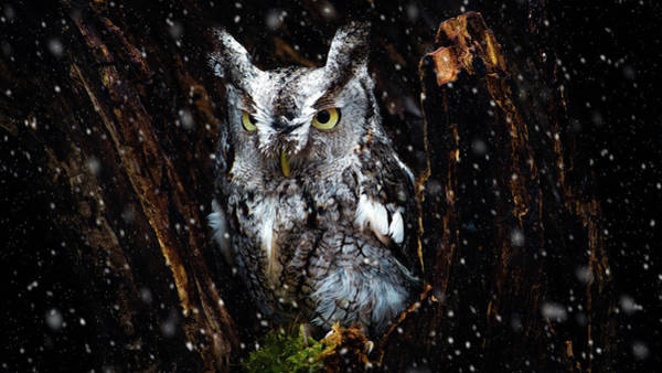 Photograph - Screech Owl In The Snow by Tracy Munson