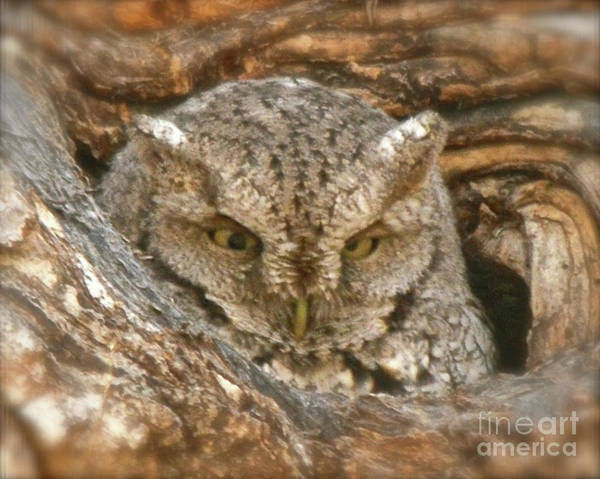 Photograph - Screech Owl On Spring Creek by Cindy Schneider