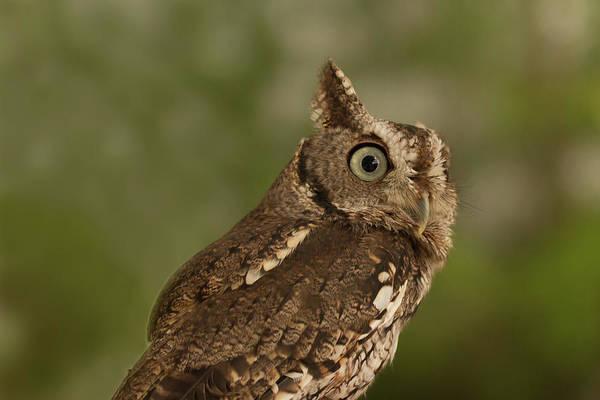 Photograph - Screech Owl by Paul Rebmann
