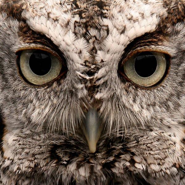 Screech Owl Photograph - Screech Owl Portrait by Brian M Lumley