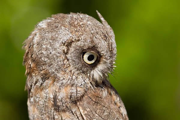 Screech Owl Photograph - Screech Owl Portrait by Roeselien Raimond