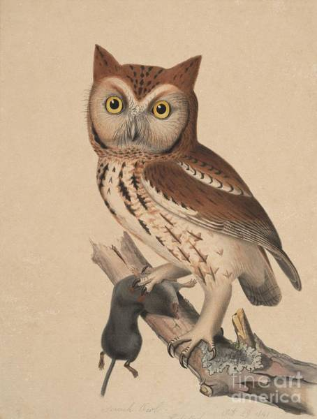 Painting - Screech Owl - Red Owl by Celestial Images
