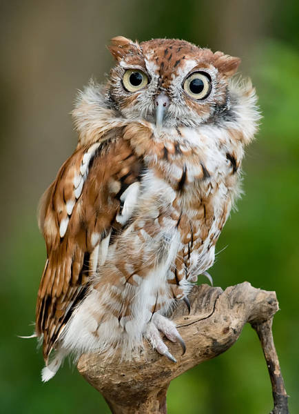 Screech Owl Photograph - Screech Owl by Wade Aiken