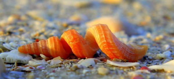 Photograph - Screw Shell by Sean Allen