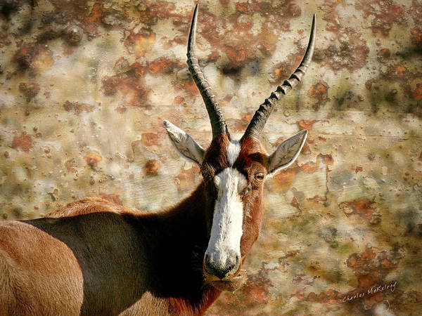 Photograph - Screwy Horns by Charles McKelroy