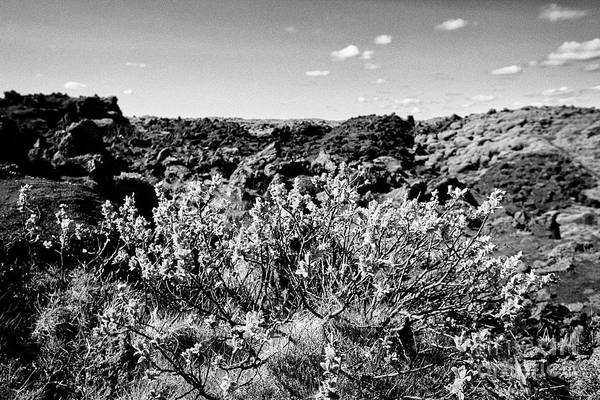 Wall Art - Photograph - scrub and moss vegetation in lava fields of southern Iceland by Joe Fox