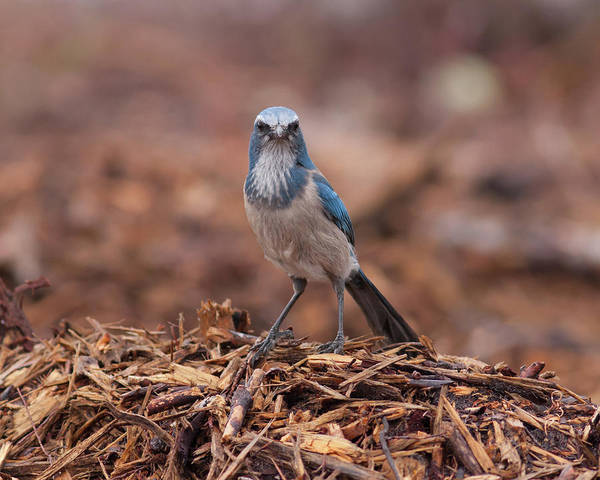 Photograph - Scrub Jay On Chop #2 by Paul Rebmann