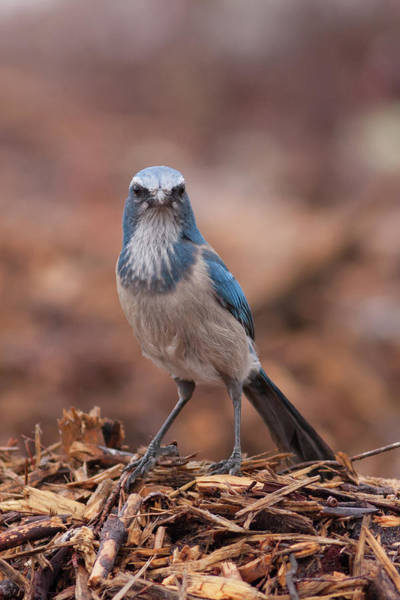 Photograph - Scrub Jay On Chop by Paul Rebmann