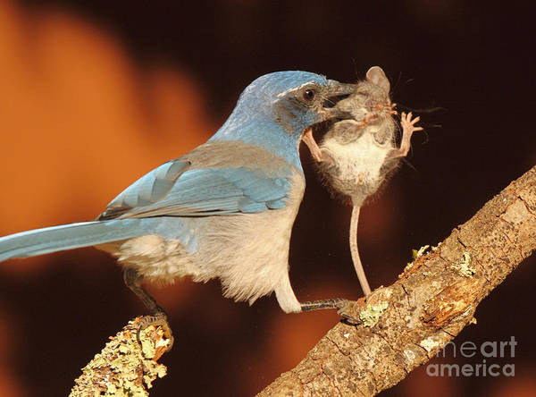 Wall Art - Photograph - Scrub Jay With Jumping Mouse In Grasp by Max Allen