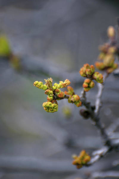 Photograph - Scrub Oak Emergence by Jason Coward