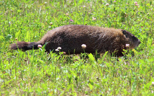 Wall Art - Photograph - Scurrying Ground Hog  by Debra Forand