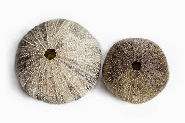Photograph - Sea Urchin Shells by Belinda Greb