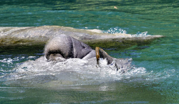 Photograph - Sea Cows by Donna Proctor
