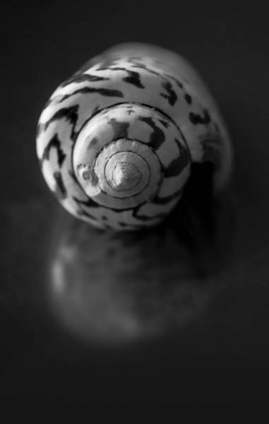 Conch Photograph - Sea Gem In Black And White by Maggie Terlecki