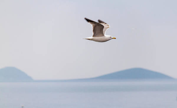 Nature Wall Art - Photograph - Sea Gull Flight Serenity by Iordanis Pallikaras