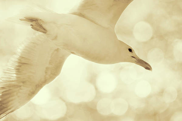 Photograph - Sea Gull On Neutral Bokeh Background by Peggy Collins