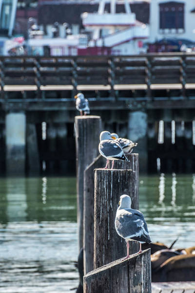 Wall Art - Photograph - Sea Gulls Fisherman's Wharf by Paul Freidlund