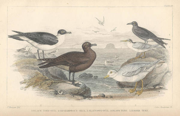 Wall Art - Drawing - Sea Gulls by Dreyer Wildlife Print Collections