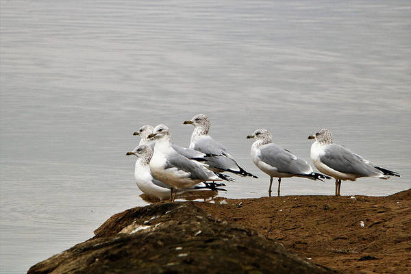 Photograph - Sea Gulls On Rock Ledge by Sheila Brown