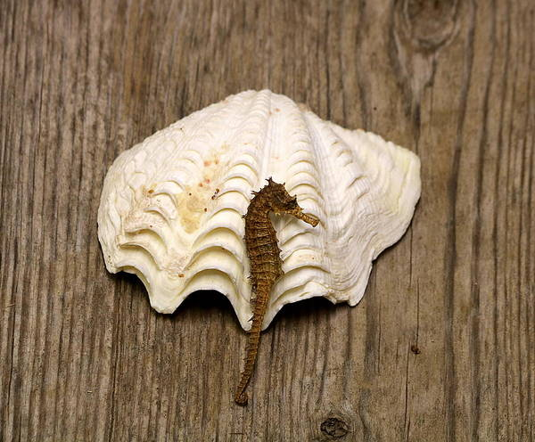 Photograph - Sea Horse And Sea Shell by Sheila Brown