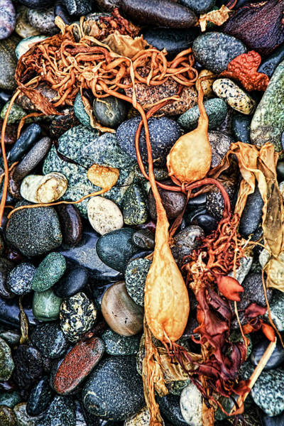 Photograph - Sea Kelp And Rocks Vertical by Peggy Collins