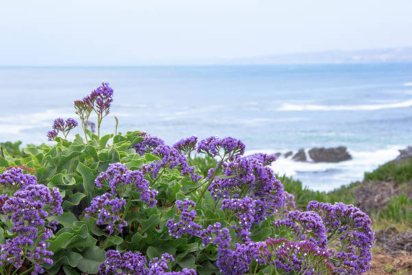 Plumbaginaceae Photograph - Sea Lavender On The Coast by Amy Sorvillo