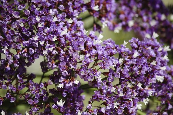 Plumbaginaceae Photograph - Sea Lavender by Teresa Mucha