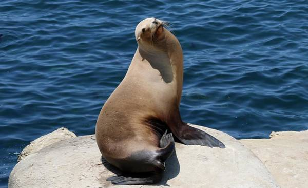 Photograph - Sea Lion At La Jolla Cove - 2 by Christy Pooschke