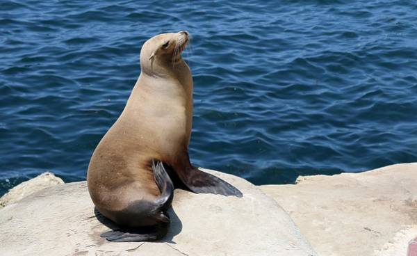 Photograph - Sea Lion At La Jolla Cove  by Christy Pooschke