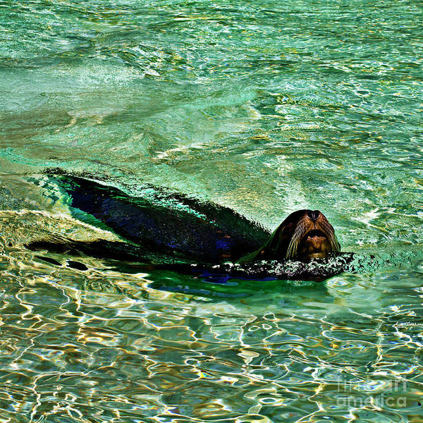 Photograph - Sea Lion In Dreaming Aquatic World by Silva Wischeropp