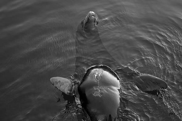 Photograph - Sea Lion Iv by David Gordon