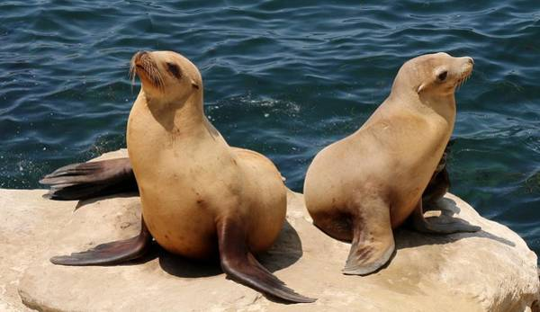 Photograph - Sea Lion Pals  by Christy Pooschke