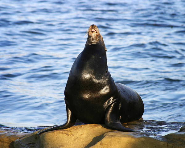 Photograph - Sea Lion Sing by Anthony Jones
