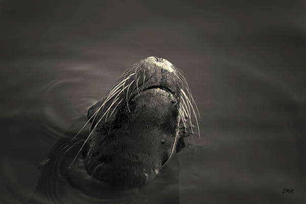 Photograph - Sea Lion V Toned by David Gordon
