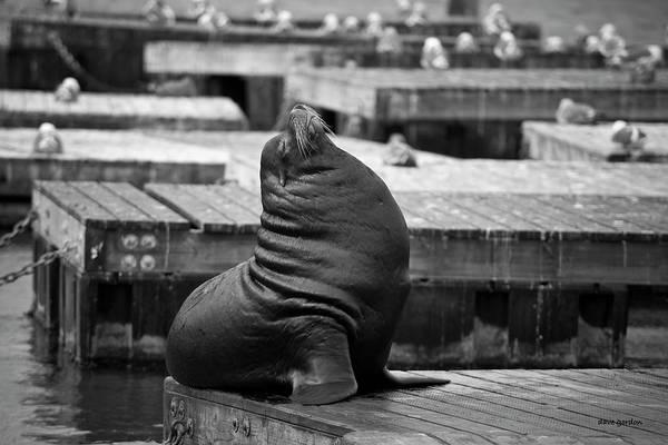 Photograph - Sea Lion Vi Bw by David Gordon