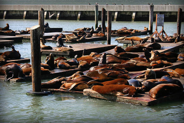 Photograph - Sea Lions At Pier 39 In San Francisco by Patricia Montgomery