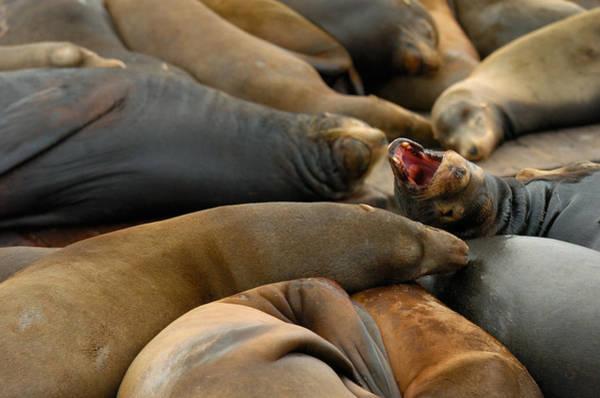 Photograph - Sea Lions At Pier 39 San Francisco by Sebastian Musial