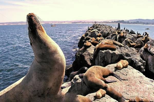Photograph - Sea Lions On Rock Pier by Joe Lach